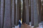 In the Sugar Pine Forest, Laurel Hill, New South Wales