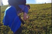 Picking Blue Berries in the Denali State Park, Alaska
