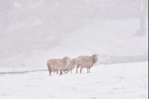 Sheep Huddle