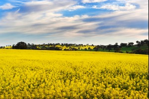 Canola Valley