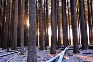 Frozen Sugar Pines