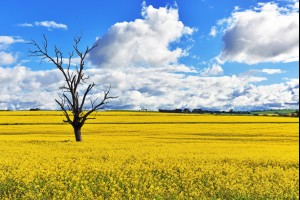Amongst the Canola