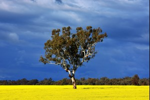 The Canola Tree