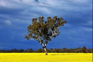 The Canola Tree
