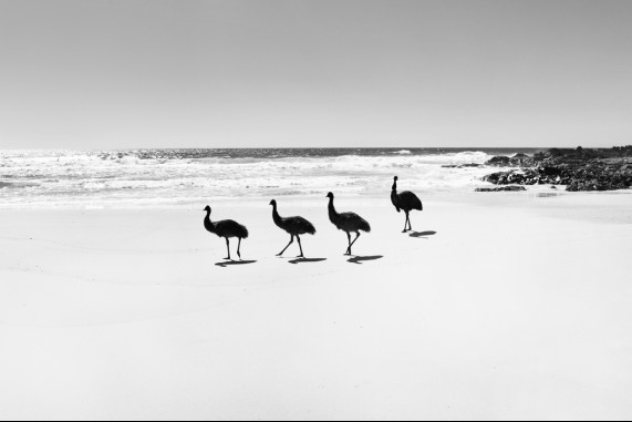 Walk like an Emu