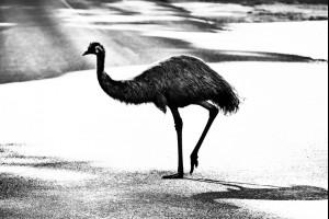 Emu Walk