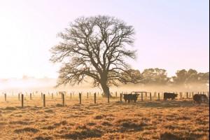 The Moruya Tree