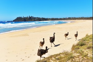 Emus on the Beach