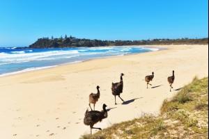 Emus on the Beach