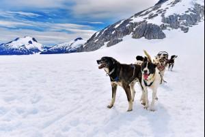 Alaskan Husky's