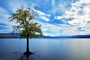 The Okanagan Tree
