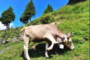A Swiss Cow