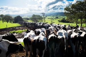 The Dairy Cow Run