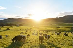 Gerringong Cows