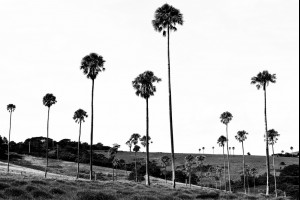 Cabbage Palm Valley