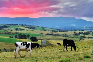 Cows with a View