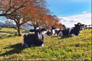 Kiama Cows