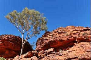 The Canyon Tree