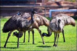 Town Emus