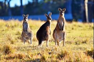 Cuttagee Kangaroos