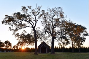 Historic Oaks