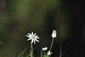 Flannel Flowers