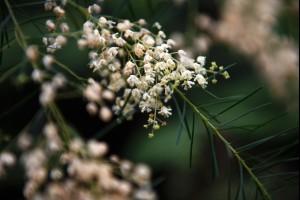 Bush Flowers