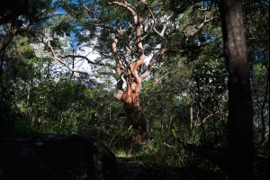 The Red Gum