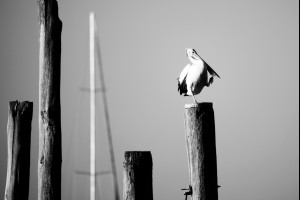 Mr Pelican
