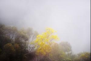 A Wattle in the Fog