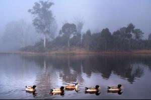 Tassie Ducks