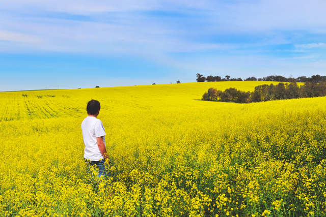 Canola Fields of NSW